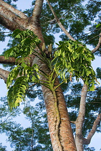 Swiss cheese plant (Monstera deliciosa) Osa Peninsula, Costa Rica. - Alex  Hyde