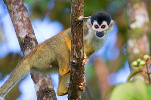 Black-crowned Central American squirrel monkey (Saimiri oerstedii oerstedii) Osa Peninsula, Costa Rica. IUCN Red List Vulnerable species.  -  Alex  Hyde