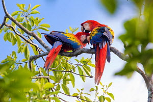 RF - Scarlet macaw (Ara macao) pair preening, Osa Peninsula, Costa Rica. (This image may be licensed either as rights managed or royalty free.) - Alex  Hyde
