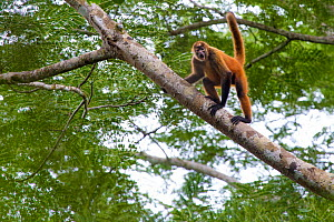RF - Black-handed spider Monkey (Ateles geoffroyi). Osa Peninsula, Costa Rica. May.. Endangered species. (This image may be licensed either as rights managed or royalty free.)  -  Alex  Hyde