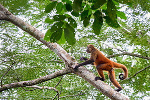 Black-handed spider monkey (Ateles geoffroyi) Osa Peninsula, Costa Rica. IUCN Red List Endangered species.  -  Alex  Hyde