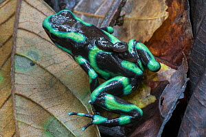 Green and black poison frog (Dendrobates auratus) male carrying two tadpoles on its back, Osa Peninsula, Costa Rica  -  Alex  Hyde