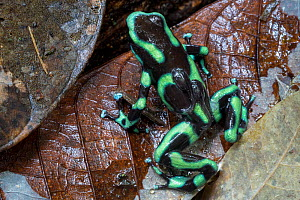 RF - Green and Black Poison Frog male (Dendrobates auratus) carrying two tadpoles on its back. Osa Peninsula, Costa Rica. (This image may be licensed either as rights managed or royalty free.)  -  Alex  Hyde