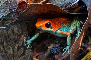 RF - Granular poison frog (Oophaga granulifera). Osa Peninsula, Costa Rica. Vulnerable species. (This image may be licensed either as rights managed or royalty free.)  -  Alex  Hyde