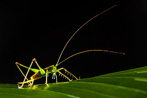 RF - Predatory katydid (Tettigoniidae) backlit at night with long antennae. Osa Peninsula, Costa Rica. (This image may be licensed either as rights managed or royalty free.) - Alex  Hyde
