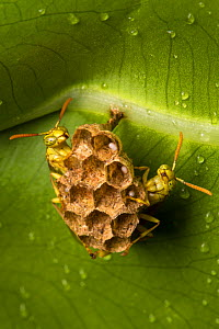 Paper wasps (Polistinae) at nest attached to underside of leaf with eggs visible in paper cells, Osa Peninsula, Costa Rica  -  Alex  Hyde
