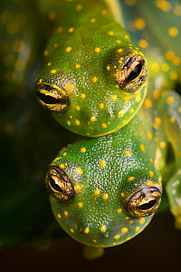 RF - Yellow-flecked Glassfrogs (Sachatamia albomaculata) pair in amplexus. Osa Peninsula, Costa Rica. (This image may be licensed either as rights managed or royalty free.) - Alex  Hyde