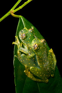 Yellow-flecked glassfrogs (Sachatamia albomaculata) mating pair, Osa Peninsula, Costa Rica  -  Alex  Hyde