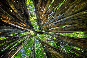 Looking through the aerial roots of a Strangler fig (Ficus zarazalensis) the original host tree that the Fig was climbing has been killed and has rotted away, leaving a hollow space in the middle, spe...  -  Alex  Hyde