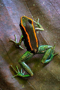 RF - Golfodulcean poison frog (Phyllobates vittatus), Osa Peninsula, Costa Rica. (This image may be licensed either as rights managed or royalty free.) - Alex  Hyde