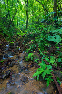 RF - Rainforest stream, habitat of the Golfodulcean poison frog (Phyllobates vittatus). Osa Peninsula, Costa Rica. (This image may be licensed either as rights managed or royalty free.) - Alex  Hyde