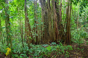 Strangler fig (Ficus zarazalensis) aerial roots. In this instance the original host tree that the Strangler fig was climbing has been killed and rotted has away, leaving a hollow space in the middle....  -  Alex  Hyde