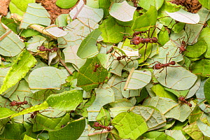 RF - Leaf-cutter Ants (Atta cephalotes) carrying harvested leaf to their nest. Osa Peninsula, Costa Rica. - Alex  Hyde
