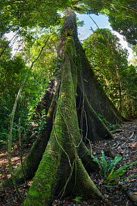 RF - Huge Kapok tree (Ceiba pentandra), Osa Peninsula, Costa Rica. (This image may be licensed either as rights managed or royalty free.)  -  Alex  Hyde