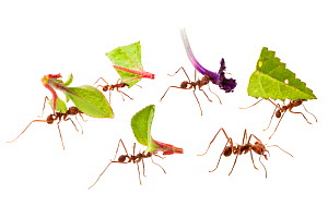 RF - Leaf-cutter Ants (Atta cephalotes) carrying harvested leaf to their nest. Osa Peninsula, Costa Rica. Composite image. - Alex  Hyde