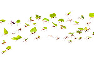 Leaf-cutter ants (Atta cephalotes) carrying pieces of leaf that they have harvested back to their underground fungus garden in their nest, Osa Peninsula, Costa Rica. Photographed in mobile field studi...  -  Alex  Hyde