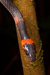 RF - False Coral Snake / Bush Racer / Forest Flame-Snake (Oxyrhopus petolarius), Osa Peninsula, Costa Rica. (This image may be licensed either as rights managed or royalty free.) - Alex  Hyde