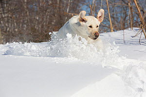 RF - Domestic Yellow labrador retriever in snow. Clinton, Connecticut, USA. January. (This image may be licensed either as rights managed or royalty free.) - Lynn M Stone