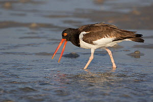American Oystercatcher (Haematopus palliatus) with what is probably a sand eel, Tampa Bay, St. Petersburg, Florida, USA  -  Lynn M Stone