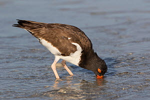 American Oystercatcher (Haematopus palliatus) probing in sand for invertebrates at low tide, Tampa Bay, St. Petersburg, Florida, USA  -  Lynn M Stone