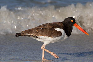 American Oystercatcher (Haematopus palliatus) hunting for marine invertebrates along shore, Tampa Bay, St. Petersburg, Florida, USA  -  Lynn M Stone