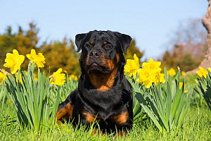 Rottweiler in Daffodils and green grass, Waterford, Connecticut, USA  -  Lynn M Stone
