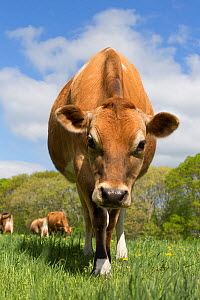 RF - Purebred domestic Jersey heifer on spring pasture. Canterbury, Connecticut, USA. May. (This image may be licensed either as rights managed or royalty free.)  -  Lynn M Stone
