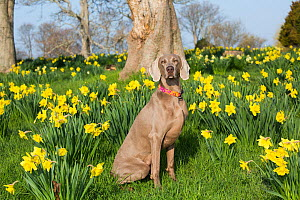 Female purebred Weimaraner sitting among Daffodils in early May, Waterford, Connecticut, USA  -  Lynn M Stone