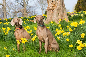 Female purebred Weimaraners sitting among Daffodils in early May, Waterford, Connecticut, USA  -  Lynn M Stone