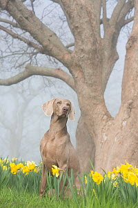 RF - Portrait of domestic female purebred Weimaraner among daffodils in early May. Waterford, Connecticut, USA. May. (This image may be licensed either as rights managed or royalty free.)  -  Lynn M Stone