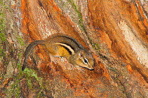 Eastern chipmunk (Tamias striatus) on bark at base of tree, Mendon, Massachusetts, USA  -  Lynn M Stone