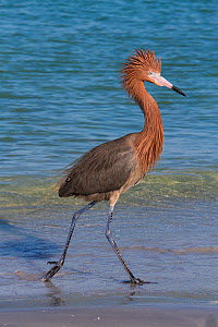RF - Reddish egret (Egretta rufescens) in dark phase on beach. Tampa Bay, St. Petersburg, Florida, USA. July. (This image may be licensed either as rights managed or royalty free.) - Lynn M Stone