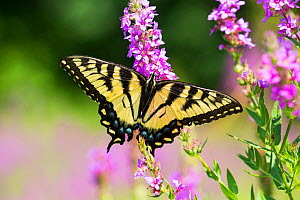 Eastern tiger swallowtail butterfly (Papilio glaucus) female, nectaring on Purple Loosestrife (Lythrum salicaria) in wet meadow, East Haddam, Connecticut, USA  -  Lynn M Stone