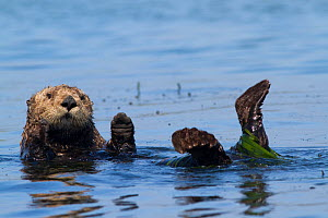 RF - Southern sea otter (Enhydra lutris nereis), partially wrapped in eel grass, grooming near Monterey, California, USA. August. - Lynn M Stone