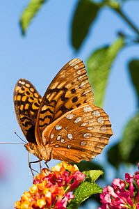 Great spangled fritillary butterfly (Speyeria cybele) nectaring in late summer on Lantana flowers in garden, East Haddam, Connecticut, USA - Lynn M Stone