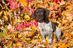 RF - Portrait of domestic German shorthaired pointer pup in autumn. Pomfret, Connecticut, USA. October. (This image may be licensed either as rights managed or royalty free.) - Lynn M Stone