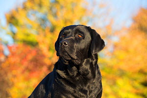 Black Labrador retriever in autumn, Colchester, Connecticut, USA - Lynn M Stone