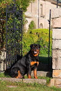Rottweiler in early autumn on estate grounds, Waterford, Connecticut, USA  -  Lynn M Stone