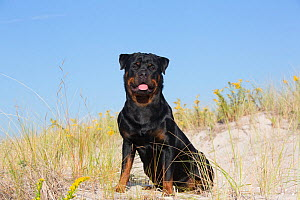 Rottweiler in early autumn vegetation, Waterford, Connecticut, USA  -  Lynn M Stone