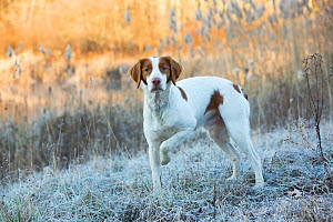 RF - Portrait of domestic Brittany dog on frosty grass at dawn. Canterbury, Connecticut, USA.  Late November. (This image may be licensed either as rights managed or royalty free.)  -  Lynn M Stone
