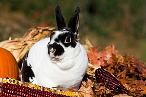 Mini Rex Rabbit in oak leaves and ears of Indian corn, Newington, Connecticut, USA - Lynn M Stone