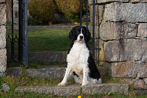 English Springer Spaniel (show type) on estate grounds, Waterford, Connecticut, USA  -  Lynn M Stone