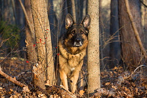 German Shepherd Dog in wintertime woods, Tolland, Connecticut, USA  -  Lynn M Stone