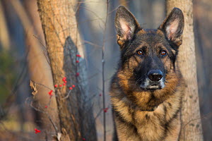 RF - Head Portrait of domestic German shepherd dog in woods. Tolland, Connecticut, USA. December. (This image may be licensed either as rights managed or royalty free.) - Lynn M Stone