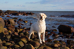 RF - Domestic Labrador retriever on rocky seashore. Madison, Connecticut, USA. December. (This image may be licensed either as rights managed or royalty free.)  -  Lynn M Stone
