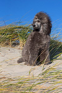 Miniature Poodle windblown on beach dune, Waterford, Connecticut, USA - Lynn M Stone