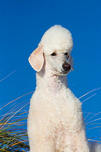 RF - Head portrait of domestic Standard poodle on sand dune. Waterford, Connecticut, USA. December. (This image may be licensed either as rights managed or royalty free.)  -  Lynn M Stone