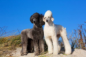 RF - Domestic Standard poodles on sand dune. Waterford, Connecticut, USA. December. (This image may be licensed either as rights managed or royalty free.)  -  Lynn M Stone