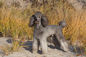 RF - Domestic Standard poodle on sand dune. Waterford, Connecticut, USA. December. (This image may be licensed either as rights managed or royalty free.)  -  Lynn M Stone