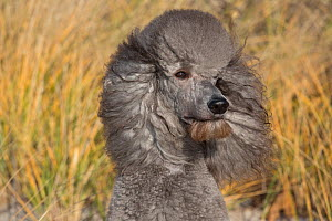 Standard Poodle on beach dune, Waterford, Connecticut, USA  -  Lynn M Stone